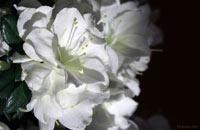 Това е удивително по декоративност и продължителност на цъфтене храстовидно растение Азалия снимка