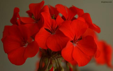 Мушкатото е род многогодишни растения