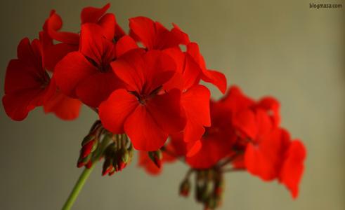 Едроцветни английски — Pelargonium regale