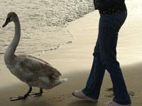 варна лебеди море