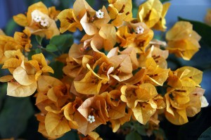 flower Bougainvillea