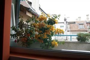 балкон цветя Бугенвилия