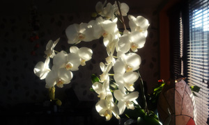 orchidaceae white