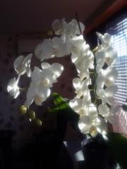 снимка на бяла орхидея