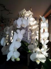 white orchidaceae